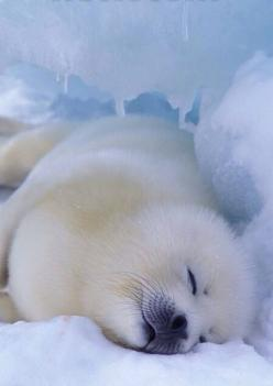 cuteness of arctic seal having siesta! ; ) (so sound asleep, so innocent, let's not as humans melt his ice & destroy his/her god damn cuteness : ): Sleepy Seal, Seals, Animals, Arctic Seal, Baby Animal, Sealion, Baby Seal