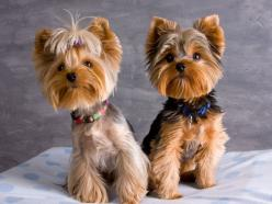 cutest yorkies other than mine :): Yorkie Haircut, Yorkshire Terrier, Yorkie S, Pet, Hair Cut, Puppy, Dog, Animal
