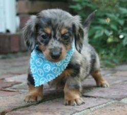dachshunds puppies - are so adorable i can just scoop one up and cuddle it to pieces!!! loe dashhounds: Mini Dachshund, Blue Dapple, Dachshund Puppies, Dapple Mini, Mini Daschund, Dapple Dachshund, Puppy, Mini Doxie, Animal