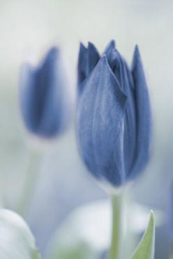 Delicate Blue Tulips: Baby Blue, Happy Birthday, Blue Flowers, Color, Beautiful, Bluetulips, Spring Blue, Garden