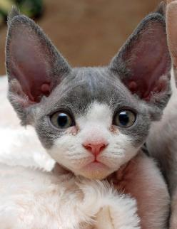 Devon Rex … (These cats are the pixies of the cat world!  They meet you at the door to ask you about your day & tell you about theirs!  Love to jump & play even at 7 years old)  #kitty: Cats, Animals, Devon Rex, Kitty