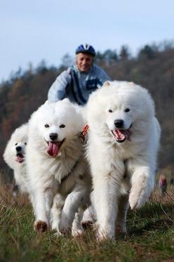 Dogs: Cats, Animals, Friends, Awesome, Pets, Samoyed Dogs, Samoyeds, Top