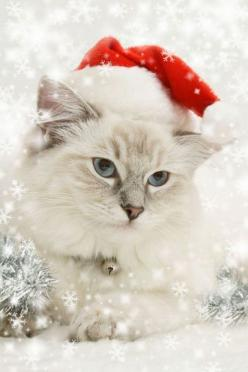 Dress up for Christmas this year.  And if you don't have time, dress up the cat. #cats: Christmas Pets, Christmas Cats, Holiday, Kitten, Christmas Animals, White Christmas, Christmas Kitty, Dog, Merry Christmas