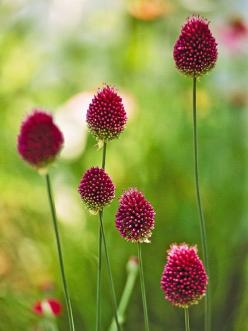 Drumstick Allium is a beautiful summertime bloomer that looks great with lilies! More alliums for your garden:  http://www.bhg.com/gardening/flowers/bulbs/alliums-for-your-garden/?socsrc=bhgpin072313drumstickallium=12: Allium Drumstick, Top Alliums, Alliu