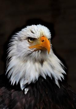 eagle: Birds Eagles, Eagles Indians Harleys, Art, America Eagles, American Eagles, Prey, Majestic Eagles, Rare Eagles, Bald Eagles