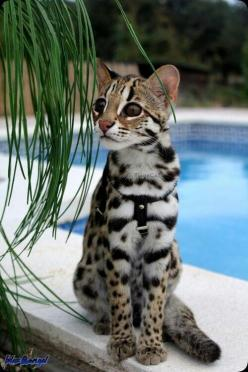 Exotic Animal Species - Cat: Wild Cat, Beautiful Cat, Bengal Cats, Kitty Cat, Animals, Leopard Cat, Savannah Cat