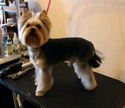 Explore Yorkie Haircuts Pictures And Select The Best Style For Your Pet: Yorkies Haircuts, 3 Yorkies 3, Yorkies Dogs Pets, Cute Dog Haircuts, Grooming Yorkies, Dogs Yorkies, Dog Grooming Styles, Yorkie Haircuts Puppies, Grooming Idea