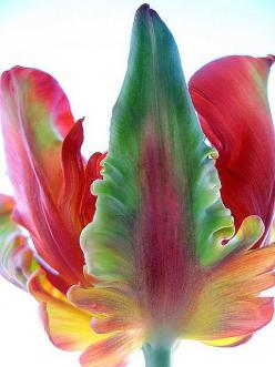 Flaming Parroté Tulip: Parrot Tulips, Color, Parrots, Flaming Parroté, Beautiful Flowers, Garden, Tulip Flame, Parroté Tulip, Parrote Tulip