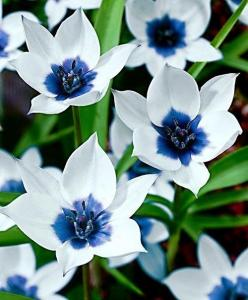 Flowers blue & white: Tulip, Pretty Flowers, Beautiful Flowers, Blue Flower, Garden, Flower
