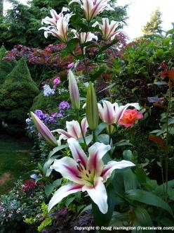 Flowers in a section of my garden, oriental lilies, roses, phlox, alstroemeria, fuchsias: Flowers Gardens, Secret Garden, Cottage Gardens, Flower Bouquets Gardens, Flower Gardens, Beautiful Gardens, Color Combination