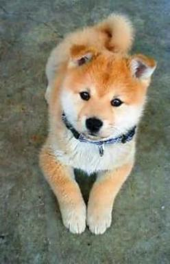 Fluffy Shiba Inu puppy. Saw one of these at a pet event and they are soooo cuuuuuute!!!!!!!!: Types Of Dogs, Shiba Inu, Pet, Friend, Shibainu, Animal