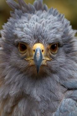 From Treehuger: South America's unusual animal close-ups: Solitary Eagle, Crowned Solitary, South America, Unusual Animals, Eagles, Birds, Photo
