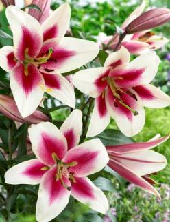 Garden Pleasure Orienpet Lily: Flowers Gardens, Luscious Lily, Flowers Cacti, Beautiful Flowers Lilies