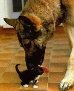 German Shepard and kitten: Germanshepherd, Cats, Animals, Kitten, Dogs, Pet, German Shepherds, German Shepard, Friend