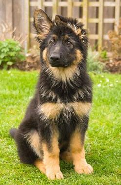German shepard... I've been owned by several! There is nothing so delicious, and no better friend.: German Shepherd Dogs, Animals, German Shepards, Pet, German Shepherds, German Shepherd Puppies, Friend