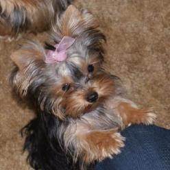 Give me what you're eating, please, huh, will ya, pretty please??: Lynns Yorkies, Yorkie Baby, Toy Yorkies, Baby Yorkie, Friends Yorkies, Baby Girl, Animals Yorkies, Yorkie Sweet