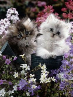 Gold-Shaded and Silver-Shaded Persian Kittens in Watering Can Surrounded by Flowers: Cats, Animals, Kitty Cat, Sweet, Pet, Kitty Kitty, Kittens, Flower