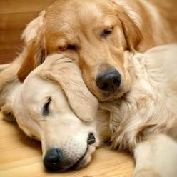 #GoldenRetriever sleepy heads... Fetch more pinworthy #dogs by clicking on this pic: Doggie, Animals, Goldenretrievers, Best Friends, Dogs, Golden Retrievers, Pet, Adorable