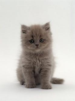 Google Image Result for http://cats-chaos-and-confusion.com/wordpress/wp-content/uploads/2011/07/persian-cat-2.jpg: Cats, Grey Kitten, Persian Kittens, Baby, Kitty, Persian Cat, Cute Kittens, Animal