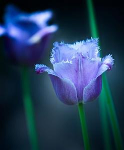 Google Image Result for http://media.smashingmagazine.com/cdn_smash/wp-content/uploads/2010/01/flowers_16.jpg: Beautiful Blue, Blue Flowers, Purple, Color, Beautiful Flowers, Garden, Fringed Tulip, Flower Photography