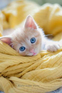 gorgeous coloured orange and white kitten. Cats and Kittens > https://www.pinterest.com/trevorellestad/all-the-cats/: Cats, Ginger Kitten, Kitty Kitty, Blue Eyes, Kittens, Baby, Animal