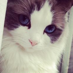Gorgeous kitty eyes!!: Kitty Cat, Animals, Beautiful Cats, Pretty Cat, Pets, Blue Eyes, Pretty Kitty, Kittens, Kitties