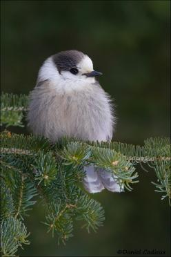 Gray Jay in Spruce ~ These guys are so friendly they will come down and eat of your hand in the wilderness! By  Dave Cadieux: Little Birds, Grayjay, Beautiful Birds, Photo, Animal