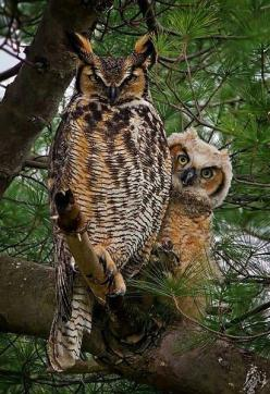 Great Horned Owl couple!: Animals, Nature, Greathornedowl, Hoot Hoot, Horned Owls, Beautiful Birds, Photo, Great Horned Owl
