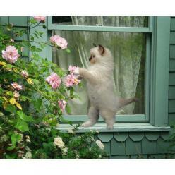 Green cottage kitten dancing with a pink rose.: Cats, Doors, Lace Curtains, Cottage, Roses, Windows, Flowers, Garden, Animal