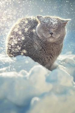 Greyheart: He WAS an elder in Alpineclan. He later died and is now in Starclan. He was a very fierce warrior and was the deputy of Alpineclan. He later retired from being deputy and went to the elders den.: Photos, Kitty Cats, Animals, Beautiful, Winter W