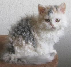 hahaha...this made me laugh. it's so unfortunate for a cat who can't do anything about their bad hair days: Curly Kitty, Cats, Animals, Kitty Cat, Pet, Kitty Kitty, Kittens, Selkirk Rex, Curly Hair