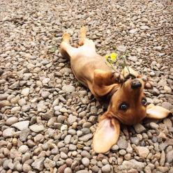 Heart Throb in training: Animals, Baby Doxie, Dachshund, Natural Models, Doxie S, Doxies, Puppy, Wiener Dogs
