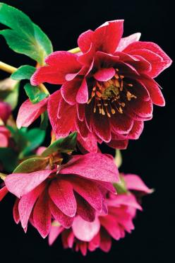 """Hellebore """"Amethyst Gem""""  I wish I could remember what it is that I know about Hellebore and stories, and Mary Magdalene~ something~: Gems, Amethysts, Hellebore Amethyst, Helleborus, Beautiful Flowers, Garden"""
