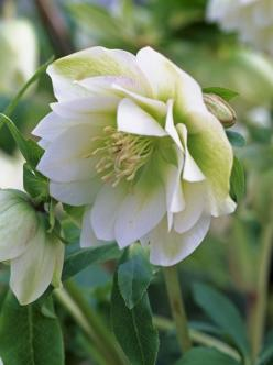 Helleborus (winter)      via Nathalie Peters: Shade Plant, Hellebore Sp, Double Hellebore