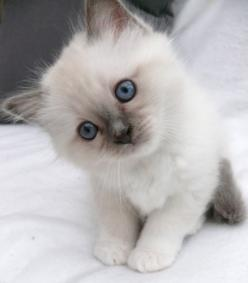 Hmmm...I think I need to think about that.: Cats, Animals, Pet, Blue Eyes, Kitty Kitty, Baby, Kittens