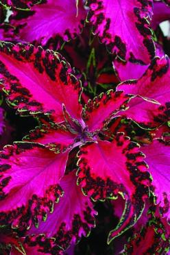 Hot-pink leaves with ruffled, variegated borders edged with a thin line of light green make Solenostemon 'Pink Chaos' look like an explosion of neon paisley. Grows 6 to 18 inches tall.: Color, Coleus Plant, Coleus Pink, Pink Chaos, Chaos Coleus, Pink Leav