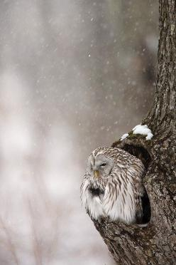 Huddling in the snow: Animals, Winter, Tree, Nature, Beautiful, Snow Owl, Birds, Snowy Owl, Owls