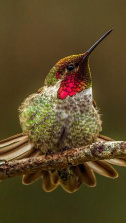 . Hummingbird: Humming Birds, Poultry, Humming-Bird, Beautiful Birds, Birds Hummers, Animal, Birds Hummingbirds