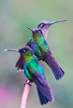 Hummingbirds - Walela (wah-lay-lah) the word for hummingbird in Cherokee :-): Humming Birds, Animals, Purple, Color, Humming-Bird, Beautiful Birds, Hummingbirds