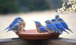 hungariansoul:  paolama:  luce per i miei occhi !!!  ♥: Bluebirds, Animals, Nature, Beautiful Birds, Blue Birds, Photo