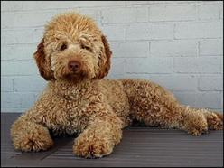 I've always wanted either a labradoodle or a goldendoodle :): Doggie, Labradoodle Dogs, Dogs Dogs, Labradoodle Haircut Style, Labradoodle1 With, Goldendoodle Grooming Styles, Labradoodle Pretty, Life My Style What, Goldendoodle Haircut