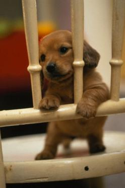 I heart dachshunds: Cute Puppies, Animals, Dogs, Sweet, Dachshund Puppies, Pet, Puppys, Box, Baby