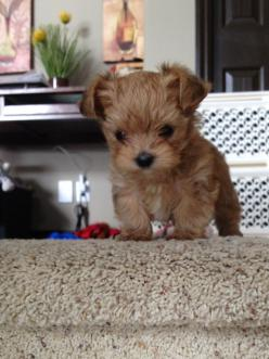 I want one when I go off to college!! Morkie puppy #cute #puppy #morkie: Morkiepuppy, Animals, Puppies, Dogs, Morkie Puppy, Pet, Puppys