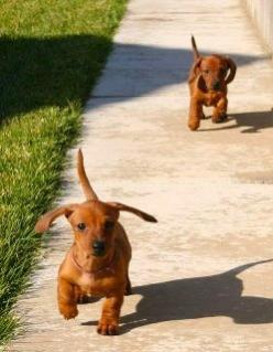 I want to get a dachshund so then I can have a dog that looks like me, both super mega short <3: Weenie Dogs, Baby Weenie, Dachshund Puppies, Doxie, Baby Dachshunds, Puppy, Weiner Dogs, Dachshund S, Animal