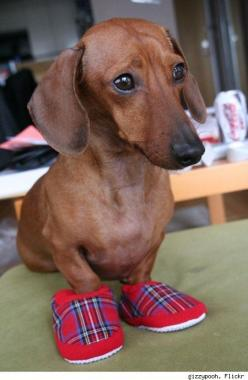 if the shoes fit.. #daschund #dog #shoes: Slippers, Daschund, Shoes Fit, Doxie, Weenie, Dachshund Dog