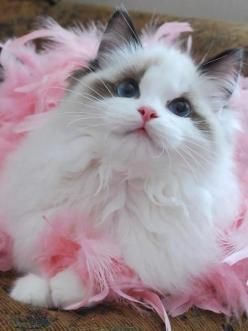 in the wings: Kitty Cats, Beautiful Cat, Animals, Sweet, Pets, Kitty Kitty, Pink, Kittens