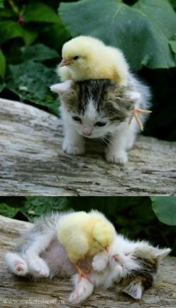 It would be fun to see a follow-up photo as they get older, still good buddies I am sure!: Baby Chick, Cats, Best Friends, Sweet, So Cute, Pet, Baby Animals, Kittens, Kitty