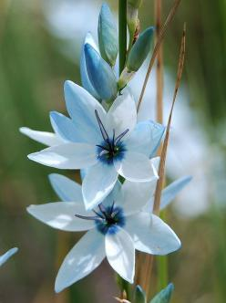 Ixia viridiflora | Flickr: Intercambio de fotos: Flores Flowers, Blue Flowers, Pretty Flowers, Flower Power, Beautiful Flowers, Bloom, Corn Flower, Garden