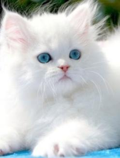 .Just glorious. Makes me want another one: Kitty Cat, Animals, Pet, White Cats, Beautiful, Blue Eyes, Kittens, Persian Cat
