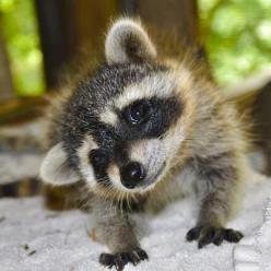 Just wanna kiss that sweet little face!!! (Yes, I'm aware that'd be a very bad idea): Babyraccoon, Babies, Baby Raccoon, Critter, Baby Racoon, Pet, Raccoons, Adorable, Baby Animals